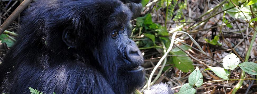 rwanda-gorilla-treks